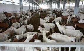 В Узбекистане введен в эксплуатацию современный доильный зал для коз